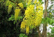 Lluvia de oro flor