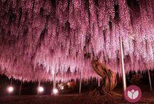 Wisteria espetacular / As fotos deslumbrantes obtidas por diferentes fotógrafos parecem eternizar uma estranha chuva de flores rosa e lilás. Na verdade, elas captam a floração de uma  Wisteria (ou Wistaria) com 144 anos de idade e que se encontra no Ashiwaga Flower Park (Japão). Acredita-se que este exemplar nem seja o maior do mundo, ainda que ocupe inacreditáveis 176 m2 e esteja lá enfeitando o espaço desde 1870.   #primaveragarden #plantas #flores #garden #jardim