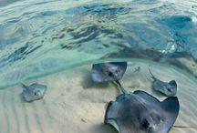 Anciaux de mer