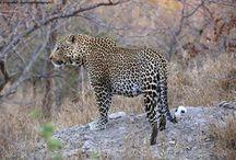 Welcome to Karongwe River Lodge / Amazing shots taken of the abundance of wildlife at Karongwe!