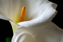 bunga lilim