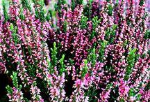 Fiori Autunno 2014 - Autumn Flowers 2014 / Foto dei fiori autunnali da Euro Plants Vivai. Autumn Flowers photos from Euro Plants Vivai.