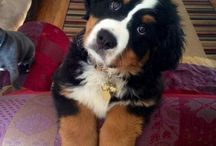 Bernese mountain / Bernese
