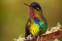 Birds / Hummingbird