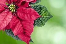 Poinsettia Care and Propagation