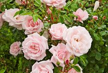 Outdoors | Roses