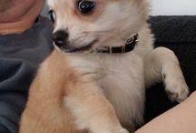 Helmi The Chihuahua ❤️