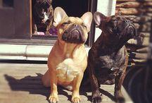 french bulldog & bulldog