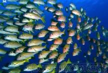 Schools / Schools of fishes
