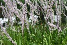 Plant Cultivars