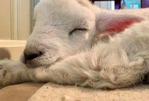 Little Lamb ❤❤