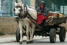 L'Albanais / L'albanais est une race de trait léger originaire des Balkans en Albanie. Les races de chevaux des Balkans sont tous d'origine très ancienne, ayant sans doute reçu à un moment de leur histoire du sang mongol, turkmène et Arabe.