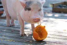 Mini Pig Treats, Snacks, and Recipes