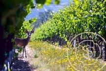 Sonoma Vines & Vineyards / by Sonoma.com