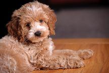 cockapoo's / gorgeous poochy poo's :-D Cocker Spaniel x Poodle