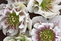 Flowers - Helleborus