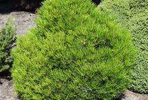 Sciadopitys'Picola'verticillata