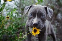 Dogs.. / I ❤ Pitbulls