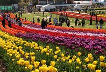 Tulip Festival / India Online Tours offers you the Special Tour packages like Tulip 2015 Tour.