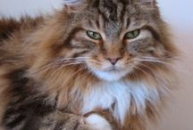 ★★Maine Coon Cats / by Cindy Eckles