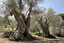 Vieux oliviers