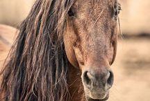 Mustangs/Wild horses