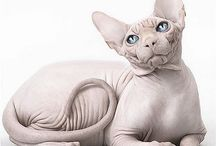 sphynx cat pictures / sphynx cat pictures