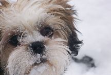 Lhasa Apso- so cute and loveable! / by TaraLyn D