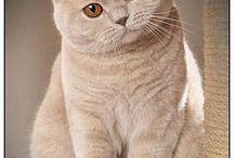 British short hair cats