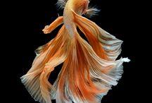 Siamese Fighting fish / by Visarute Angkatavanich