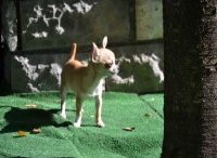 Chihuahua / Chihuahua