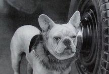 vintage frenchbulldog photos
