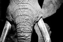 Magnificant Elephant!