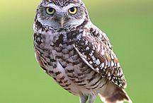 • chouette chevèche • / La chouette d'Athéna - Athene noctua / little owl