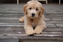 Golden Doodle / by Amy Damaska