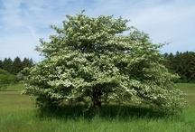 Tree & Leaf