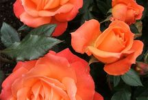Spice roses
