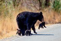 bears .
