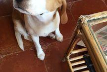 OSCAR / My beagle OSCAR
