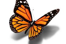 farfalla teresa