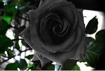 розы. черные