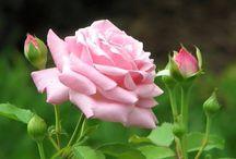 lady rose pink
