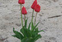 Tulips / tulips