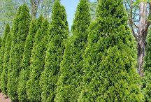 Cedar green thuja trees as fences