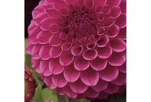 Delightful Dahlias / Back with a bang!