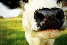 beauty cow