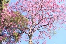 """Ipês / """"O ipê é uma ótima árvore ornamental para arborização urbana, de crescimento moderado a rápido e não possui raízes agressivas. Sua floração maravilhosa atrai muitos polinizadores, como beija-flores e abelhas. Deve ser plantado sob sol pleno ou meia-sombra. Irrigações periódicas durante o primeiro ano de implantação são importantes. A árvore adulta é muito tolerante a períodos de seca. Aprecia climas quentes, mas pode ser cultivada em regiões subtropicais"""" por Raoni Mendonça, engenheiro ambiental"""