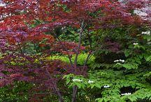 Aceraceae / Maples