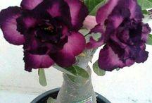 Rosa do Deserto 1