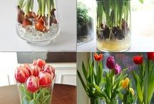 Tulipes et autres bulbes